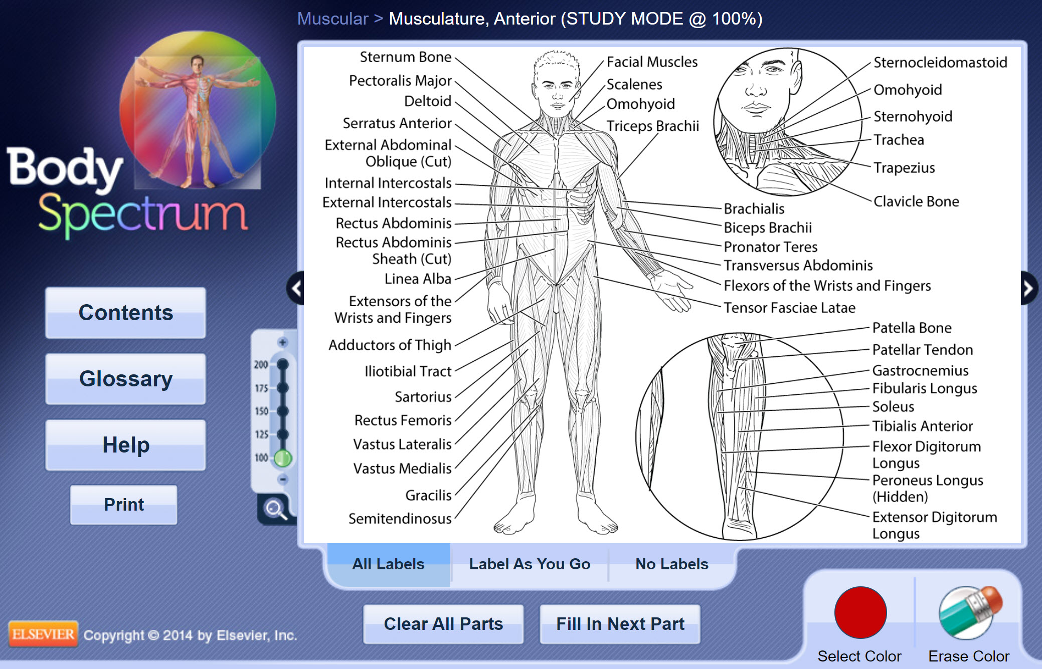 anterior musculature, with all labels